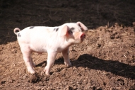 young heritage breed pigs